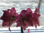 My mom sent me this picture of her amaryllis in bloom--the backdrop is the icy Missouri river.